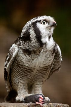 """The Northern Hawk-Owl (Surnia ulula), or Northern Hawk-Owl in North America, is a non-migratory owl that usually stays within its breeding range, though it sometimes irrupts southward. It is one of the few owls that is neither nocturnal nor crepuscular. This is the only living species in the genus Surnia of the family Strigidae, the """"typical"""" owls (as opposed to barn owls, Tytonidae). The species is sometimes called simply the Hawk Owl."""