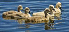 SIGNETS MUTE swans