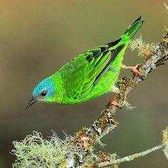 Mielero Turquesa, Blue Dacnis. Dacnis Cayana. #thraupidae #passeriformes #bird #ave #birdingphotography #birds #animal #nature  #birdwatching #birding #wildlife #dacnis #mielero