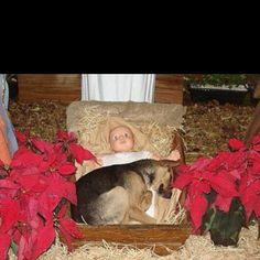 Story goes that this stray puppy in a manger was adopted soon after being found sleeping with baby Jesus...so sweet