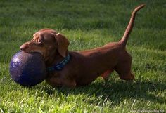 Odin playing via I Love Dachshunds Dachshund Rescue, Dachshund Love, Cute Cats And Dogs, I Love Dogs, Baby Animals, Cute Animals, Long Haired Dachshund, Silky Terrier, Most Beautiful Animals