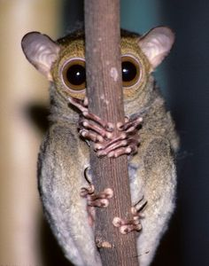 The enlarged eyes of tarsiers resemble those of higher primates in having an area of increased visual acuity known as the retinal fovea and in lacking a tapetum lucidum Unique Animals, Cute Little Animals, Baby Animals, Funny Animals, Wild Animals Pictures, Animal Pictures, Tier Fotos, Weird Creatures, Watercolor Animals