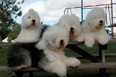 old english sheepdog pictures free | Old English Sheepdog