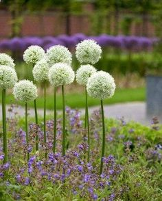 Allium Mount Everest Type: Bulbs Height: Tall 40 (Plant 8 apart) Bloom Time: Late Spring to Early Summer Sun-Shade: Full Sun Zones: 3-9 Soil Condition: Normal, Acidic Flower Color: White A late spring bloomer that has all white, baseball size flowers atop sturdy 3 stems. Mount Everest is spectacular when placed against a dark background. Features to Note: Rabbit Resistant Deer Resistant For a sunny spot Attracts Butterflies Hot Dry site tolerant