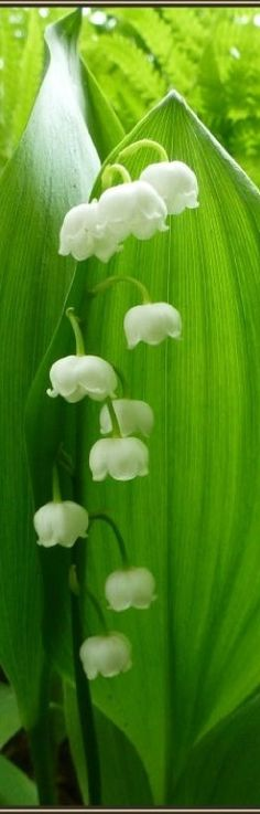 Beautiful Spring ~ Lily of the Vally, perennial