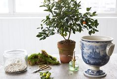 Transfer your citrus tree to a beautiful chinoiserie pot!