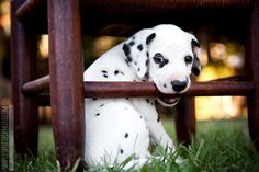 Dalmatian Puppy Photography