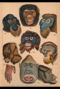 Primate Faces - Plate 38. From 'Die Vollstandigste Naturgeschichte der Affen' (The Complete Natural History of the Apes) by H.G. Ludwig Reichenbach