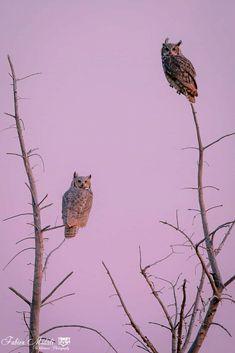 Two Horned owls Beautiful Birds, Animals Beautiful, Animals And Pets, Cute Animals, Sparrow Bird, Owl Photos, Horned Owl, Pink Owl, Owl Bird