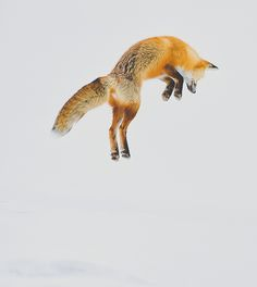 fox. I had this photo framed for my best friend a couple years ago. Its a gorgeous photo