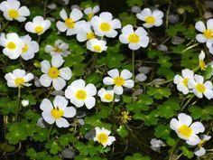 Ranunculus peltatus - Pond Water-Crowfoot  See its profile and more photos here ► http://worldoffloweringplants.com/?p=582