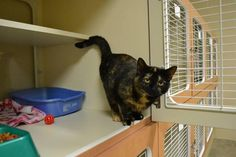 Meet Chessie, a Petfinder adoptable Domestic Short Hair-black Cat | Elizabethtown, KY | Chessie is a female who is under 1 year. She is good with dogs and young children.Please DO NOT...
