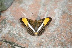 Adelpha cytherea (Andreas Sanchez) Tags: macro nature rain animal forest butterfly insect amazon bolivia lepidoptera papillon mariposa schmetterling lpidoptres