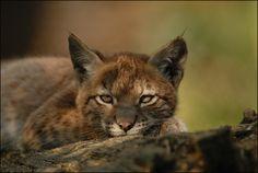 Luchs (Lynx lynx) von Volker Kirchberg