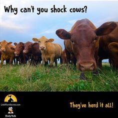 Why can't you shock cows? They've herd it all! Why can't you shock cows? They've herd it all! Farm Jokes, Dog Jokes, Puns Jokes, Corny Jokes, Funny Jokes For Kids, Animal Jokes, Funny Animal Memes, Funny Puns, Funny Stuff
