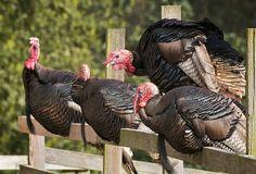Wild Turkey Roost