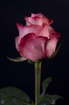 ✿⊱❥ ROMANCE - Eden Roses Ecuador
