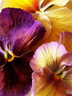 The Village Voice: Spring Pansy Parade Sunday Brunch Wilted Spinach and Gruyere Frittata Orange-Almond Scones Shades Of Violet, Floral Drawing, Plant Art, Plum Purple, Burgundy, Mellow Yellow, Mustard Yellow, Pansies, Watercolor Flowers