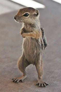 Baby Antelope Ground Squirrel~