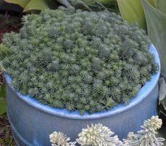 Sedum Grey Blob Lomandra, Daisy Field, Snow In Summer, Chocolate Curls