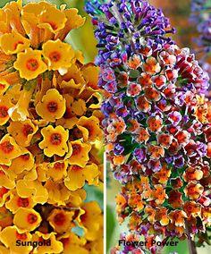 1000 images about buddlejas on pinterest butterfly bush buddleja davidii and shrubs. Black Bedroom Furniture Sets. Home Design Ideas