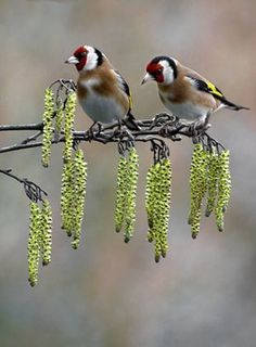 Signs of Spring: Goldfinches