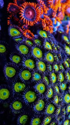 coral zoanthids