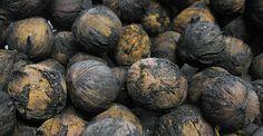 """""""black walnuts are a fortress."""""""