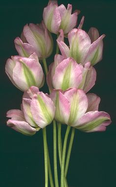 Parrot tulips...April in Amsterdam loves them!