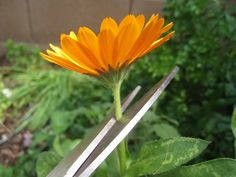 Harvesting, Preserving, and Infusing Calendula Flowers Use for skin irritations on dogs or humans