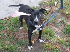 SAFE 10/3/13 Brooklyn Center - NEVALA A0979598 Female black and white pit bull mix 1YR 6 MOS This beautiful young dog will die tomorrow without your help. The ACC does not care that Nevala is an incredibly adoptable dog, so fill of life, so full of love. Nevala has overstayed her welcome and tomorrow she must go. Nevala's story will be determined tonight
