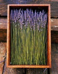 Lavender in a crate - Lavendel Lavender Cottage, Lavender Green, French Lavender, Lavender Fields, Lavender Flowers, Dried Flowers, Lavenders Blue Dilly Dilly, Lavender Crafts, Beautiful Flowers