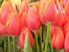 sun-tinged tulips