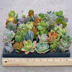 "Assortment of 42 Soft Succulent plugs chosen for color, texture,and variety. Drought tolerant, but will not tolerate frost. Excellent houseplants.    Tray dimensions: 10"" x 10"" with 42 plugs, 1"" to 2"" in diameter x 1"" deep.    Photo is sample only; varieties will vary.    SOME SOFT SUCCULENTS ARE POISONOUS IF INGESTED!!    BACKORDER/ETA SHIP MID OCTOBER"