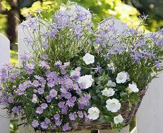 Stars für einen Sommer in zarten Farben: Sternblume, Gänseblümchen und Petunie.     2 x Blaue Gänseblümchen (Brachyscome iberidifolia)     1x Weiße Petunie (Petunie-Hybride)     2 x Sternblumen (Ipheion)
