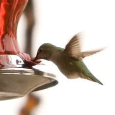 Where can you spot this species of hummingbirds? In the United States! All hummingbirds are endemic to the Americas.