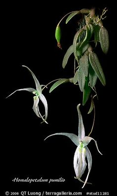 Homalopetalum pumilio. A species orchid (color)