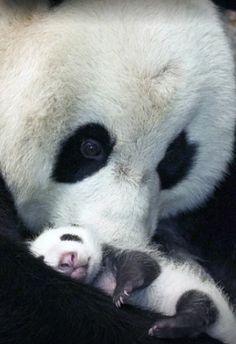 Panda and baby. Really cute✨