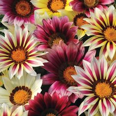Gazania Seeds New Day Strawberry Shortcake Mix Gazania Linearis 15 thru 200 Seeds Treasure Flower Seeds