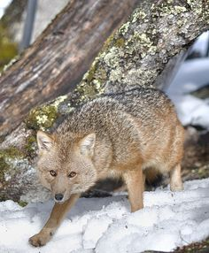 Culpeo Fox: Zorro Culpeo (Karukinka Park, Chile, Wildlife Conservation Society) | Flickr - Photo Sharing!