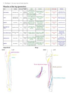 A summary for learning the muscles of the lower limb including their attachments, innervation, etc., without having to have too many books open. Leg Muscles Anatomy, Nerve Anatomy, Muscle Anatomy, Anatomy Study, Lower Limb Muscles, Forearm Muscles, Muscle Names, Physical Therapy School, Medicine Notes