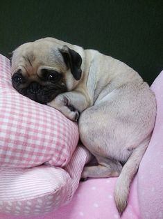 photo tumblr_mu70h40FZ81rxp391o1_500_zpse75e06ca.jpg #pug #DogTumblr