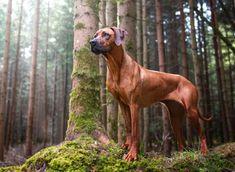 Animals And Pets, Cute Animals, Wild Animals, Rhodesian Ridgeback Puppies, National Geographic Animals, Lion Dog, Beautiful Dogs, Animals Beautiful, Dog Photos