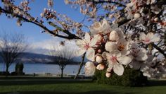 cherry blossoms in Vancouver, where you can enjoy the beach and view of snow-capped mountain all at the same time. :)