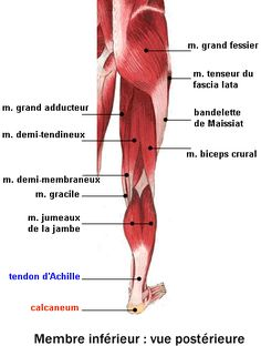 Les muscles des jambes - fiche santé du décathlon French Practice, Accupuncture, Medicine Student, Muscle And Nerve, Healthy Man, Dream Bodies, Anatomy And Physiology, Human Anatomy, How To Know