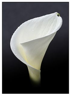 My favorite flower Cala Lily - -