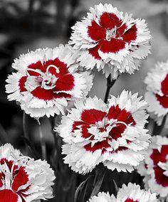 carnations; what a unique colour -L-