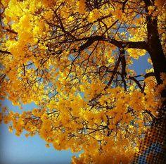 Yellow Ipe. Brasilia. Brazil.
