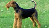 Airedale terrier Dog, Airedale terrier Breeds, Dog Pictures, Wallpapers, Videos and Photo Gallery updated). Airedale Terrier, Terriers, Terrier Dog Breeds, Terrier Puppies, Tiny Dog Breeds, Large Dog Breeds, Best Dog Breeds, Dog Breeds Pictures, Dog Pictures