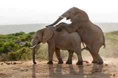 No Comment - Image taken at The Addo Elephant National Park Elephants, National Parks, Photos, Animals, Pictures, Animales, Animaux, Animal, Animais